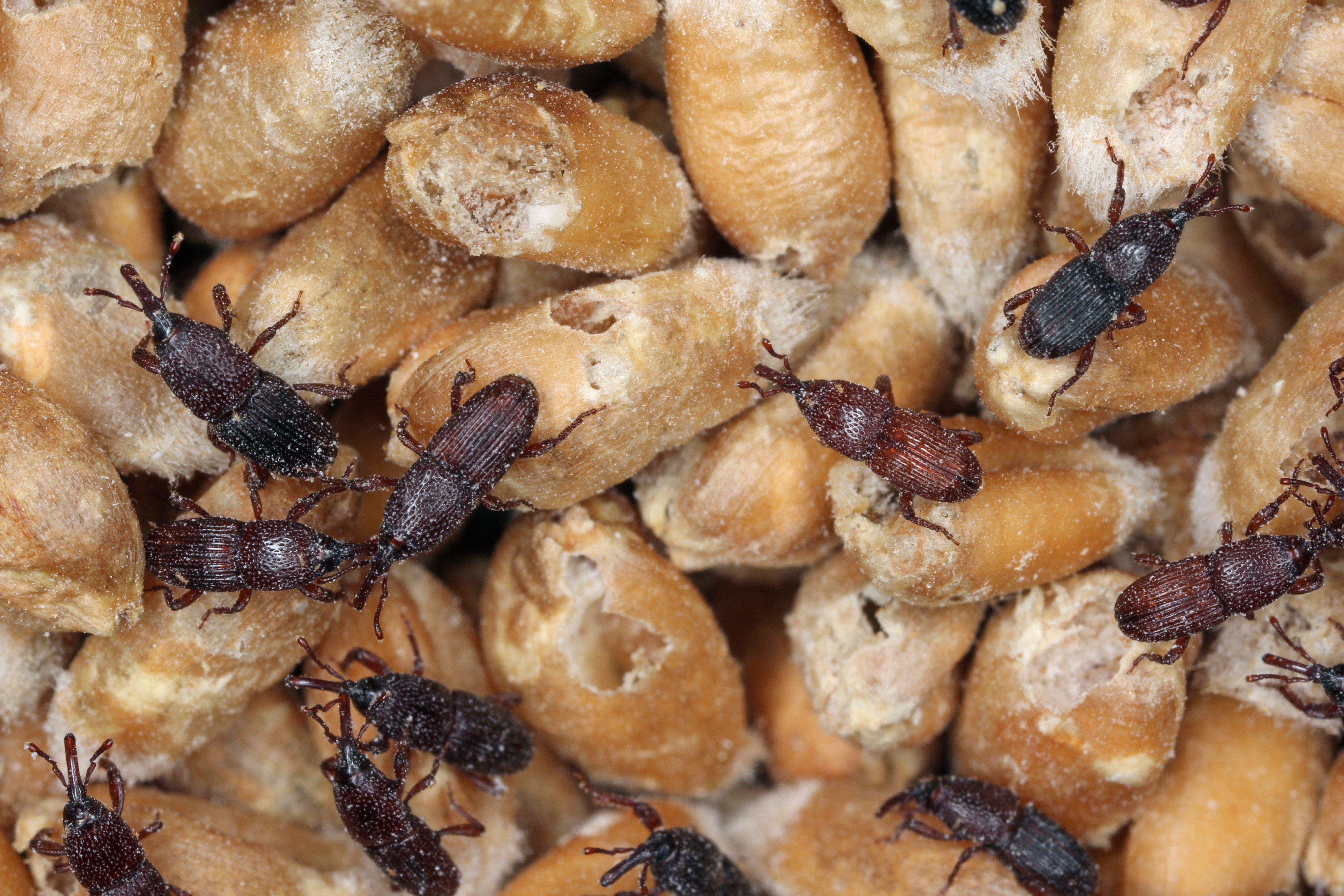 Insectes stockage céréales Blé ou Orge